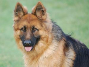 Becks Personal Protection Dog Testimonial