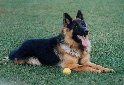 Ben Personal Protection Dog Testimonial