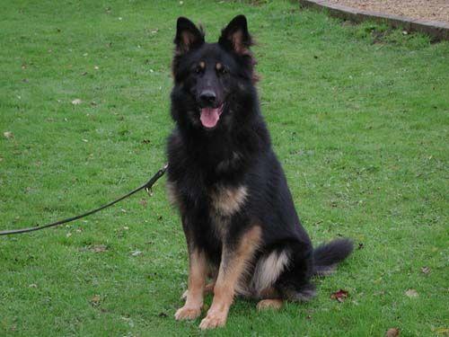 Gnasher Personal Protection Dog Testimonial