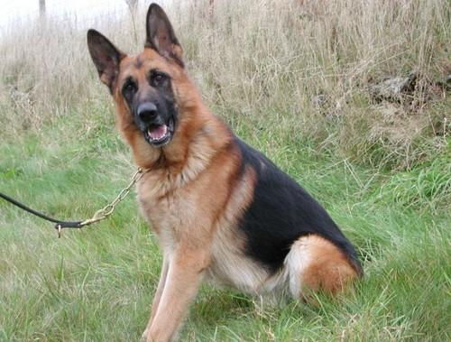 Rocco Personal Protection Dog Testimonial