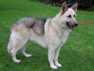 Sam Personal Protection Dog Testimonial