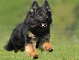 Sara Personal Protection Dog