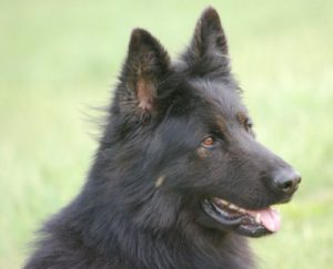 Zeus Personal Protection Dog