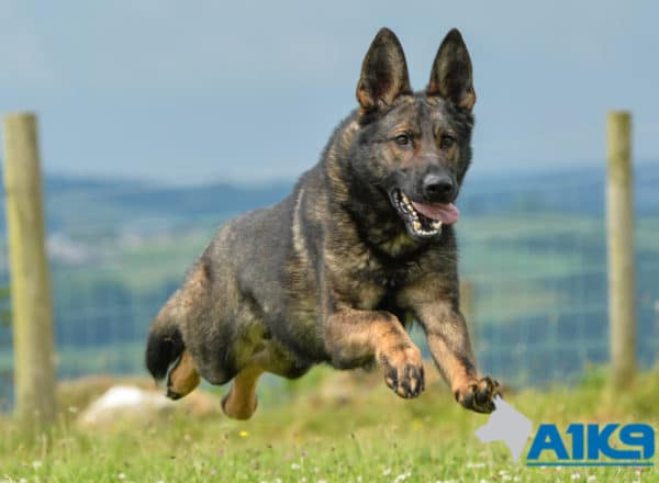 A1K9 Family Protection Dog East Running.