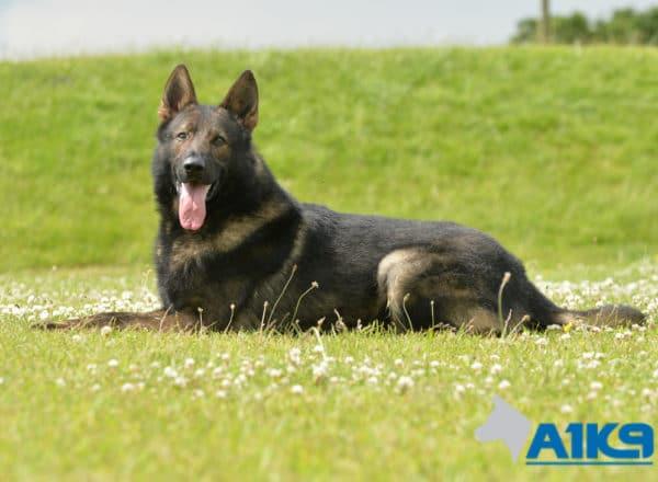 A1K9 Family Protection Dog Gabe