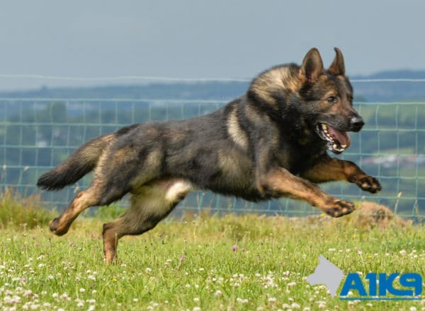 A1K9 Family Protection Dog Gabe Running