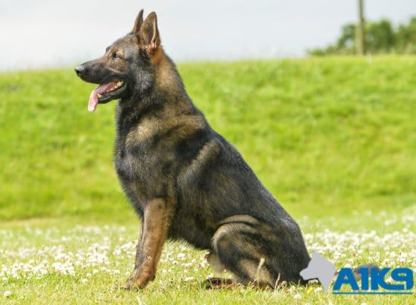 A1K9 Family Protection Dog Gabris Sit