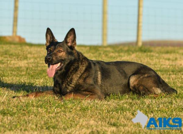 A1K9 Family Protection Dog Lucky down stay.