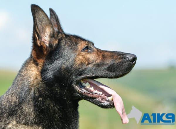 A1K9 Family Protection Dog Lucky head.