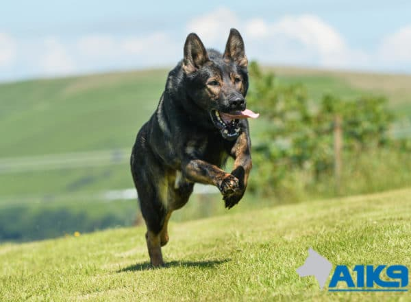 A1K9 Family Protection Dog Lucky free running.