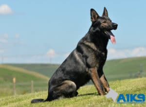 A1K9 Family Protection Dog Lucky sitting.