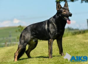A1K9 Family Protection Dog Lucky standing.