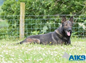 A1K9 Family Protection Dog Onyx Down Stay.