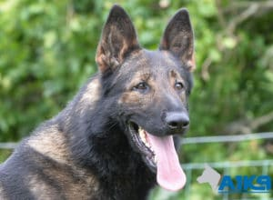 A1K9 Family Protection Dog Onyx Head