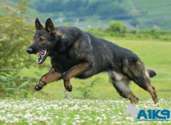 A1K9 Family Protection Dog Onyx running.