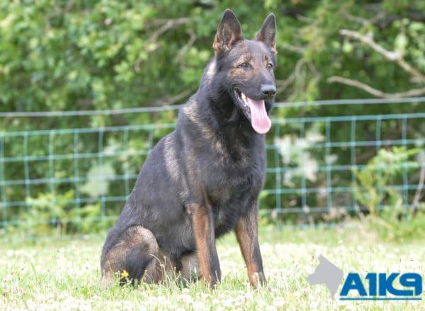 A1K9 Family Protection Dog Onyx Sit Stay