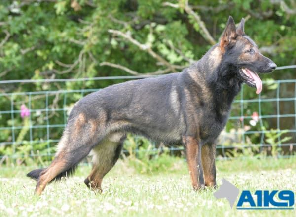 A1K9 Family Protection Dog Onyx stand stay.