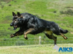 A1K9 family protection dog Caligula running.
