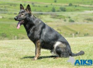 Family Protection Dog A1K9 Caligula Sit.