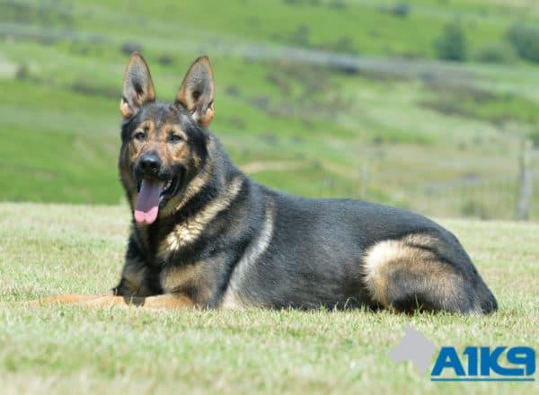 A1K9 family protection dog Falco down.
