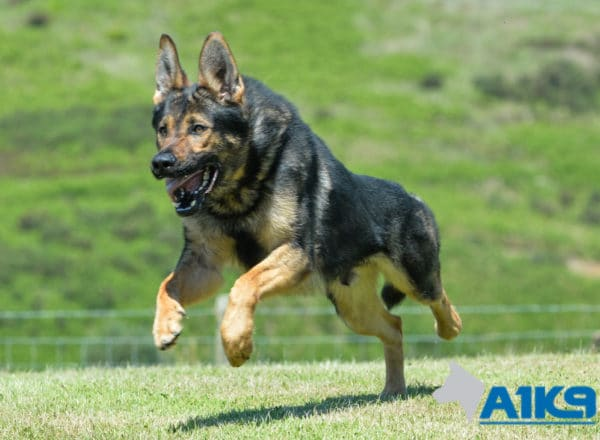 A1K9 family protection dog Falco free running.