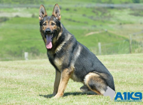 A1K9 family protection dog Falco Sit