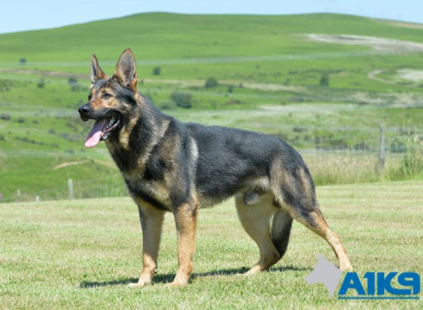 A1K9 family protection dog Falco standing.