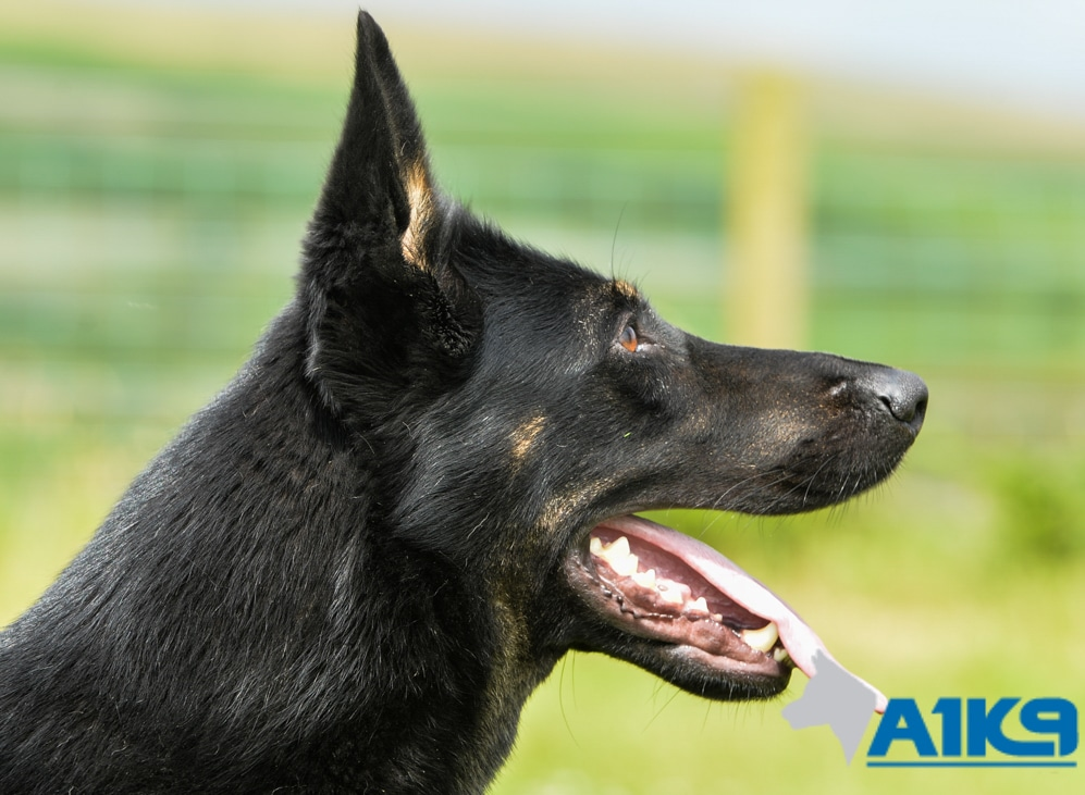 A1K9 Family Protection Dog Tara Head