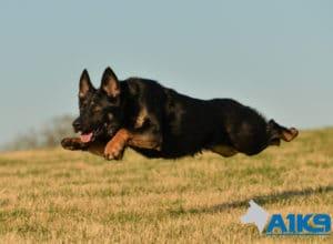 A1K9 Family Protection Dog Tara Running
