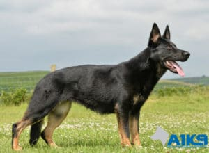 A1K9 Family Protection Dog Tara stand stay.