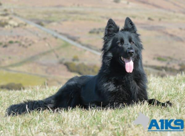 Dara, German Shepherd Protection Dog.