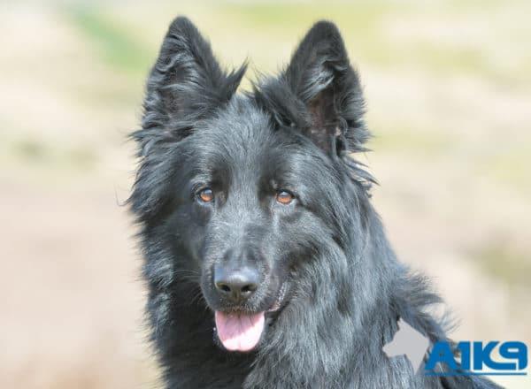 A1K9 Dara Family Protection Dog Head 0034