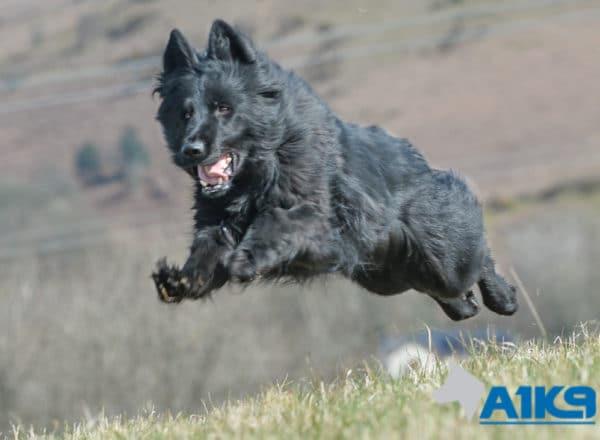 Family Protection Dog Dara Running.