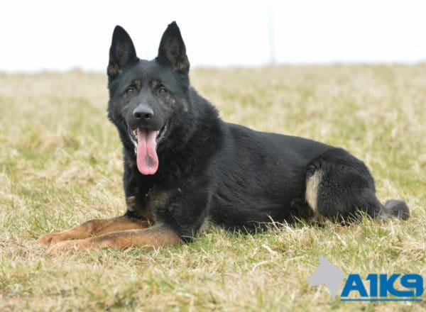 A1K9 Executive Family Protection Dog Champ.