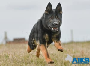 A1K9 Executive Family Protection Dog Champ