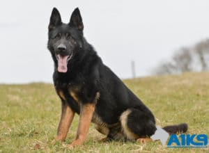 A1K9 Executive Family Protection Dog Champ For Sale at A1K9.