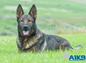 Trained family protection dog Sura at A1K9.