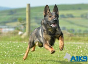 Protection dog Sura enjoying a run at A1K9.