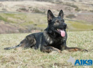 Trained German Shepherd Family protection Dog Hasso at A1K9.