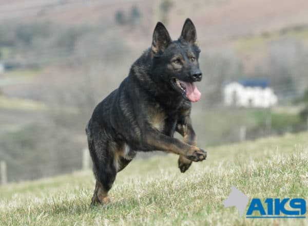 Family protection Dog Hasso having fun at A1K9.