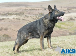 Family protection Dog Hasso at A1K9.