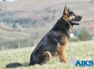 Trained Family Protection Dog Tenno at A1K9.