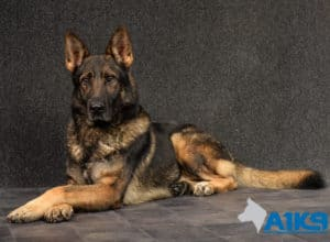 A1K9 Family Protection Dog Amo Down 5834