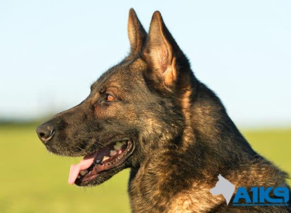 Family protection dog Amo at A1K9.