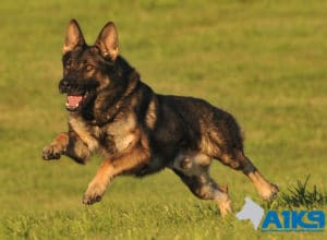 A1K9 Family Protection Dog Amo Run 9548