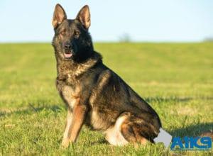A1K9 Family Protection Dog Amo Sit