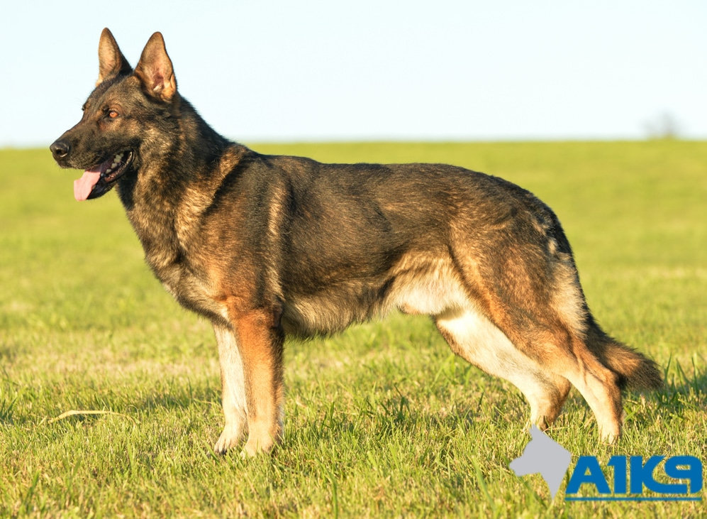 A1K9-family-protection-dog-Amo-Stand-5981