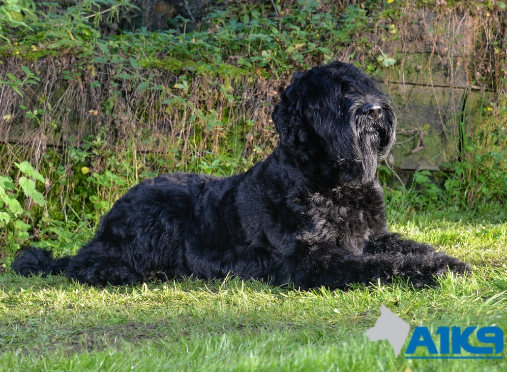 Trained Giant Schnauzer Family protection Dog