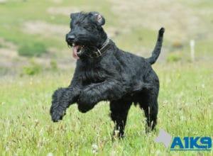 A1K9 Giant Schnauzer protection dog.
