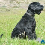 Giant Schnauzer, trained A1K9 family protection dog.